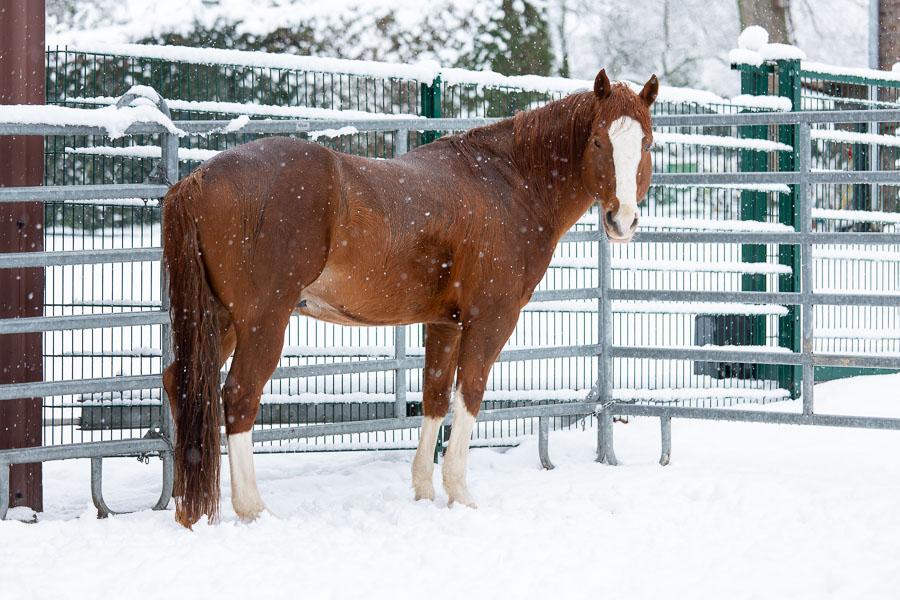 Hengst Gunny im Schnee